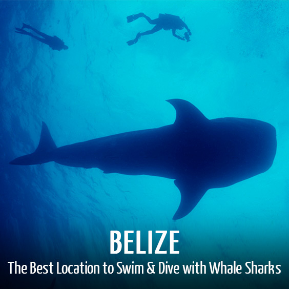 belize whale shark tours